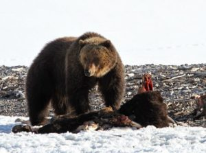 """Western leaders denounce """"activist"""" relisting of Yellowstone grizzly as endangered"""