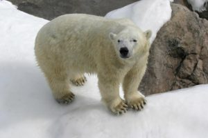 Climate alarmists drop the polar bear as their mascot since polar bears are thriving, with record population numbers