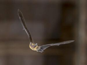 Do wind turbines draw Pipistrelle Bats to their doom?